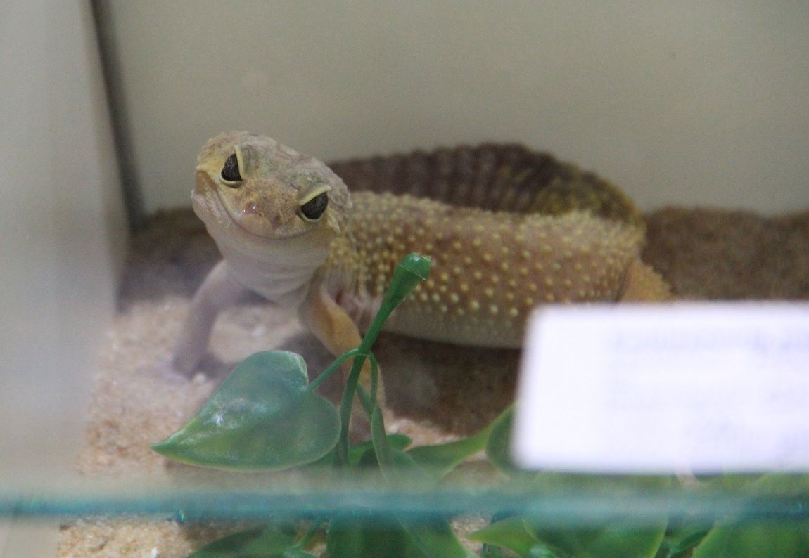 Gala s venomous snakes and such thread pictures - Bearded dragon yawn ...
